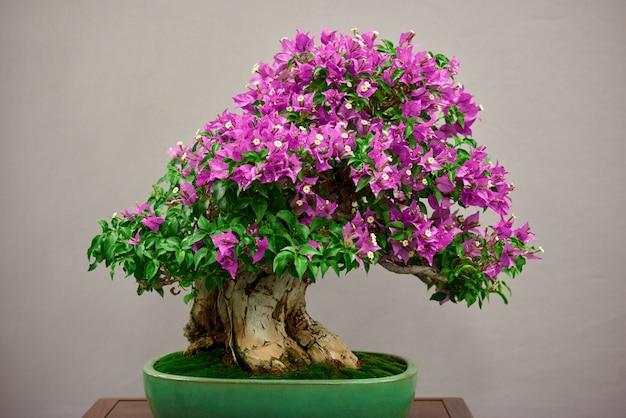 Pequena árvore bonsai com flores cor de rosa