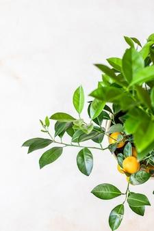 Pequena árvore cítrica ou calamondina com folhas verdes exuberantes e frutas laranja brilhantes em uma panela