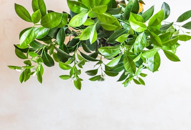 Pequena árvore cítrica ou tangerina calamondina ou tangerina conceito de jardinagem doméstica