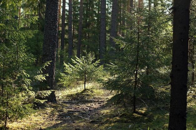 Pequena árvore de natal na floresta no verão.