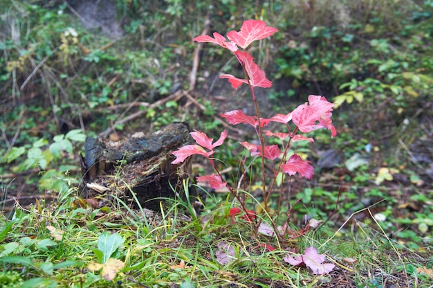 Pequena árvore vermelha de outono perto do toco morto na floresta matinal