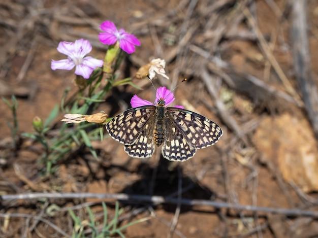 Pequena borboleta fritilar com borda de pérola (melitaea latonigena eversmann) em flores cor de rosa, close-up.