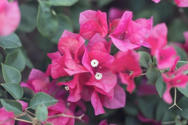 Pequena buganvília (bougainvillea glabra)