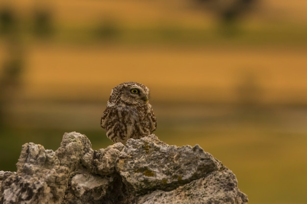 Pequena coruja (athene noctua) em montgai, lleida, catalunha, espanha. europa