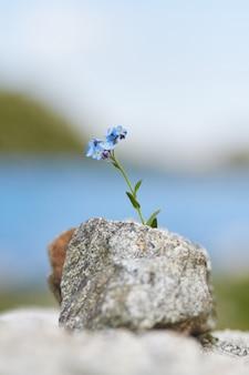 Pequena flor azul crescendo de uma pedra nas montanhas, closeup