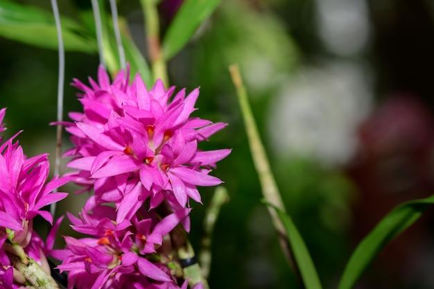 Pequena flor de orquídea rosa na tailândia