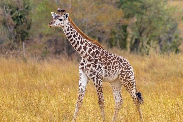 Pequena girafa na clareira do quênia na áfrica
