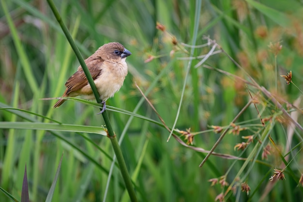 Pequena muda empoleirada em um galho pequeno comedor de sementes empoleirado em um galho entre a bela grama verde