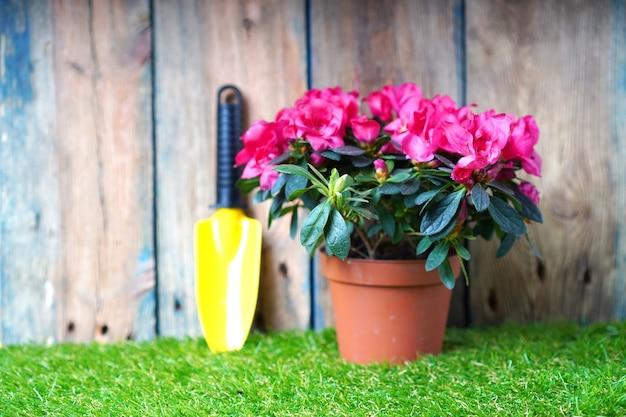 Pequena pá de jardim e flor de azaléia flor na grama verde. envasamento de flores e obras de jardim de primavera.