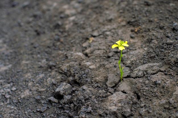 Pequena planta com uma flor amarela, cresce em uma terra seca, o conceito de confronto