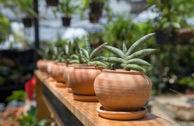 Pequena planta sansevieria cylindrica em um vaso de terracota