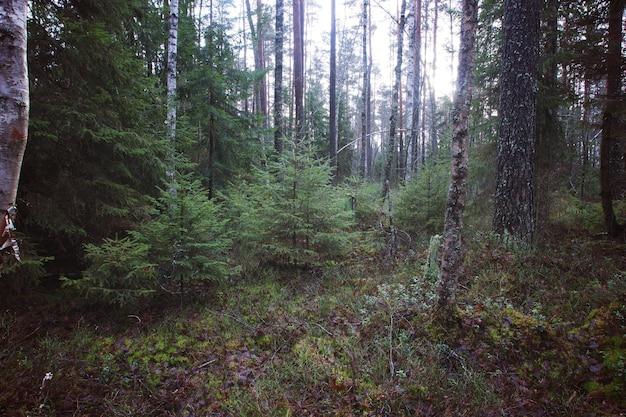 Pequenas árvores de natal crescem na floresta.