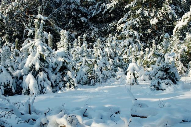 Pequenas e grandes árvores spruce sob a camada de neve