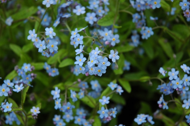 Pequenas flores azuis em pequenas inflorescências. foco seletivo. fundo