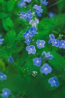 Pequenas flores azuis entre folhas verdes