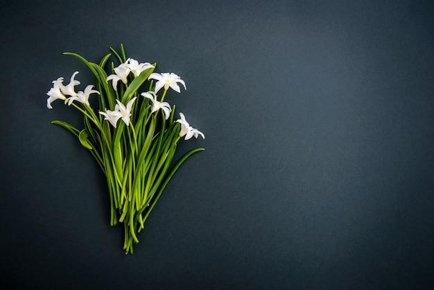 Pequenas flores brancas chionodoxa sobre fundo verde escuro