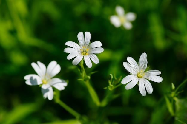 Pequenas flores brancas da primavera