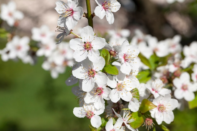 Pequenas flores brancas de cerejeira reunindo-se em grande com inflorescência