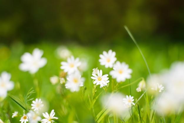 Pequenas flores brancas em um dia ensolarado de verão. close-up de uma flor na grama verde. fundo floral natural. foco seletivo suave.