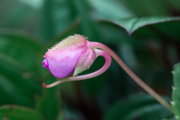 Pequenas flores cor de rosa na florescência de florestas naturais