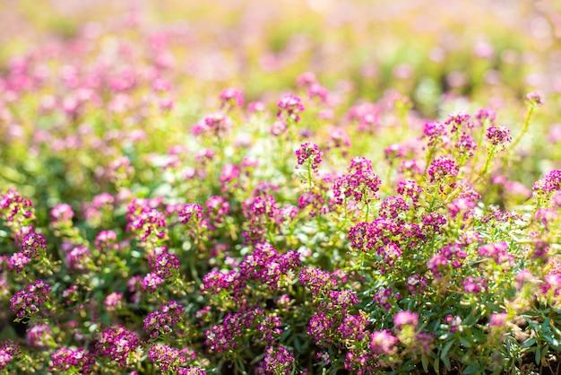 Pequenas flores cor de rosa no jardim na primavera. dia ensolarado. fundo floral. botões e floração.