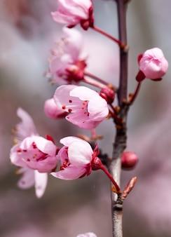 Pequenas flores de cerejeira vermelhas desabrochando no pomar, lindas flores cor de rosa na primavera ou no verão, frutas desabrochando maçãs ou cerejeiras, close-up