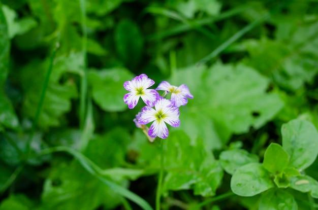 Pequenas flores lilás em um fundo verde escuro do prado