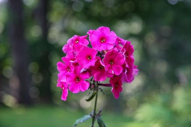 Pequenas flores vermelhas combinadas em uma haste com um fundo verde borrado. cores fúcsia. foco seletivo.