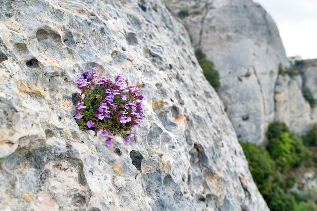 Pequenas flores violetas crescem na fenda da rocha. fundo do conceito de natureza