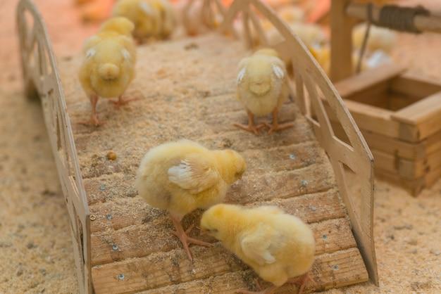 Pequenas galinhas amarelas estão se aquecendo na fazenda