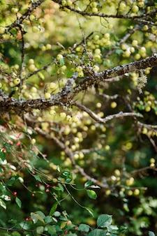 Pequenas maçãs verdes em galhos de árvores no jardim