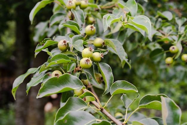 Pequenas peras verdes em um galho com folhas
