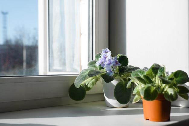 Pequenas plantas com flores em vasos dentro de casa no parapeito de uma janela. linda violeta.