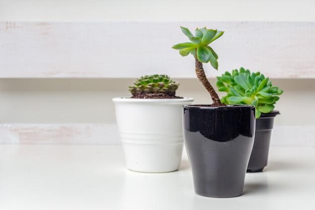 Pequenas plantas suculentas em vasos no interior de casa