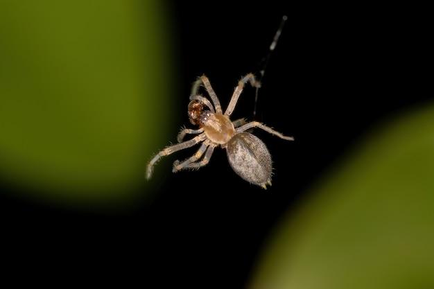 Pequeno aranha fantasma da família anyphaenidae