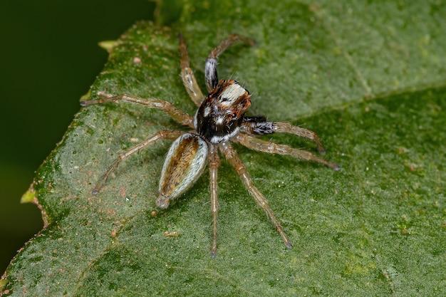 Pequeno aranha saltadora macho do gênero chira