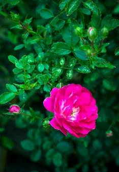Pequeno arbusto rosa de cor rosa durante a floração no jardim ao ar livre