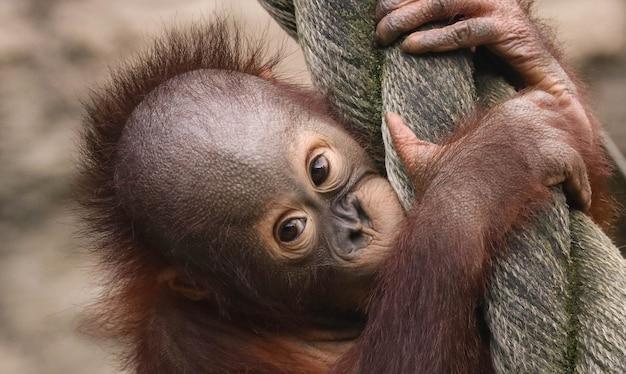 Pequeno bebê orangotango closeup