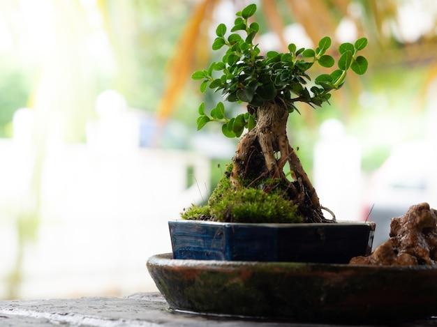 Pequeno bonsai em vaso de cerâmica azul