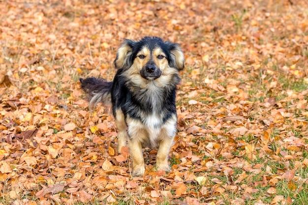 Pequeno cachorro peludo entre folhas de outono, retrato de cachorro
