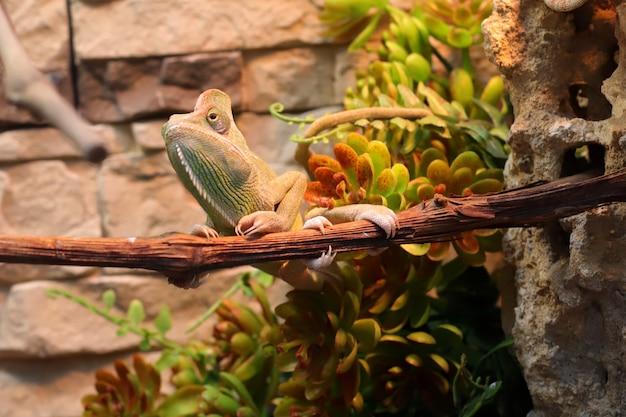Pequeno camaleão pendurado em um galho. jardim zoológico