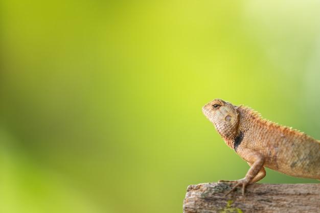 Pequeno camaleão tropical close-up com copyspace.