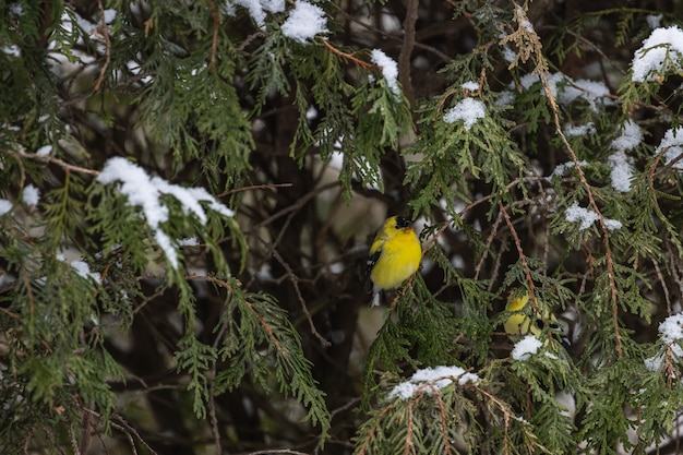 Pequeno canário amarelo sentado no galho fino de um pinheiro coberto de neve