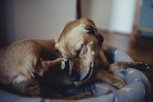 Pequeno cão amarelo coçar a cabeça