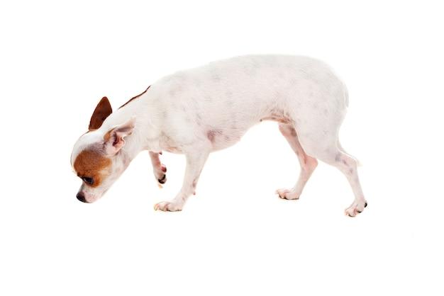 Pequeno cão castanho e branco
