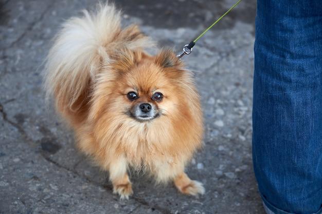 Pequeno cão da pomerânia anda com o dono na rua durante a pandemia de coronavírus