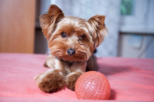 Pequeno cão fofo yorkshire terrier brincando em casa com bola rosa