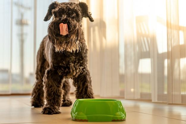 Pequeno cão preto lambe o focinho após uma refeição deliciosa. schnauzer