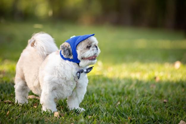 Pequeno cão shih tzu branco, vestindo uma gravata borboleta e boné