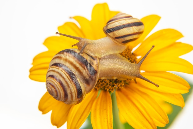 Pequeno caracol rastejando em uma flor. molusco e invertebrado.